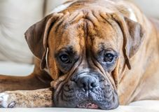 Portrait of a young male breed German boxer close-up. Bright photo, beautiful dog, intelligent eyes look into the camera, brown color with long ears, lie, rest stock photo