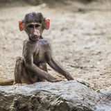 Portrait of young male hamadryas baboon Royalty Free Stock Photography