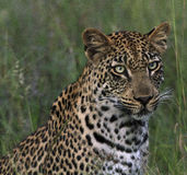 Portrait of a young male leopard Stock Image