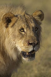 Portrait of young male lion Royalty Free Stock Photos