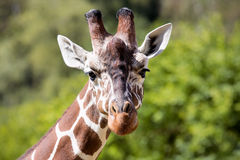 Portrait of a young male Reticulated Giraffe, Giraffa camelopardalis reticulata, Stock Photo