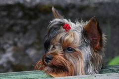 Portrait of young male yorkshire terrier, assembled with red rubber band tail of hair on the head. Royalty Free Stock Photo