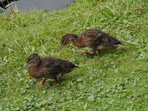 A portrait of young mallards. Brown mallards (anas platyrhynchos) walking on the grass Royalty Free Stock Photography