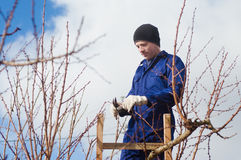 Young man pruning apricot brunches using ladder. Portrait of young man pruning apricot brunches with the pruner using wooden ladder Stock Photo