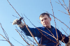 Portrait of young man pruning brunches. Portrait of young man  pruning apricot brunches with the pruner Stock Photo