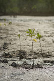 Portrait of a young mangrove tree on a mud field,selective focus,filtered image Stock Image