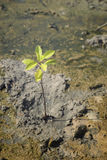 Portrait of a young mangrove tree on a mud field,selective focus,filtered image Stock Photography