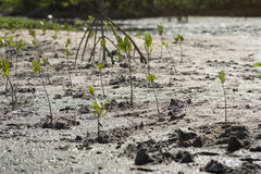 Portrait of a young mangrove tree on a mud field,selective focus,filtered image Royalty Free Stock Photos