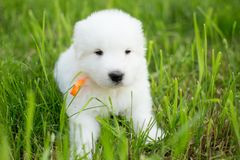 Portrait of a young maremma sheepdog outside in summer. Portrait of a young maremma sheepdog puppy outside in summer. Sweet white puppy on the grass stock images