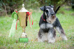 Portrait of a young miniature schnauzer on lawn. Portrait of a miniature schnauzer on lawn with cup royalty free stock photos
