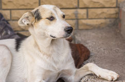 Portrait of young mixed breed stray dog sitting on a street Royalty Free Stock Images