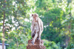Portrait of young monkey be inattentive  and sitting at the conc. Rete fence on natural light Stock Photos