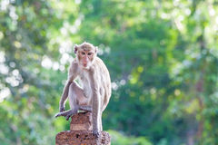 Portrait of young monkey be inattentive  and sitting at the conc. Rete fence on natural light Royalty Free Stock Photo