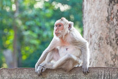 Portrait of young monkey be inattentive  and sitting at the conc. Rete fence on natural light Royalty Free Stock Image