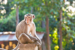 Portrait of young monkey be inattentive and sitting at the concr. Ete fence on natural light Royalty Free Stock Photos