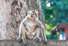 Portrait of young monkey be inattentive and sitting at the concr Stock Photography