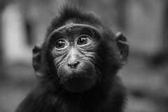 Portrait of a young monkey Royalty Free Stock Image