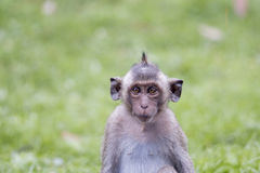 Portrait of young monkey squinting his eyes. Thailand Royalty Free Stock Photos