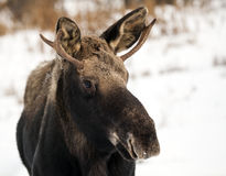 Portrait of a young moose in winter Royalty Free Stock Photo