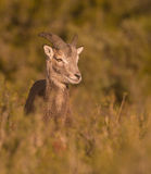Portrait of young Mouflon male Royalty Free Stock Photo