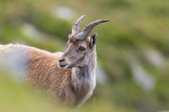 Portrait of young natural alpine ibex capricorn. In meadow stock image