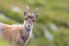 Portrait of young natural alpine ibex capricorn. In meadow stock photography