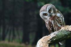 A portrait of a young owl. It`s a young owl on a close-up. The blurry forest green trees in the background. royalty free stock photo