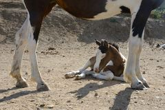 Portrait of a young paint filly lying on the ground Royalty Free Stock Images