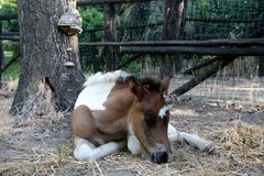 Portrait of a young paint filly Stock Photography