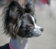 Portrait of a young Papillon dog stock image