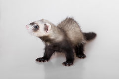 Portrait of a young polecat Stock Photo