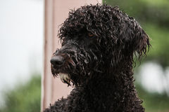 Portrait of a young Portuguese Water Dog Stock Image