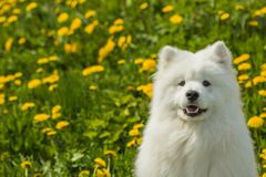 Portrait of a young puppy Samoyed dog on green-yellow background Royalty Free Stock Image