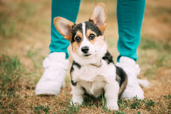 Portrait of young puppy Welsh Corgi dog Royalty Free Stock Photography