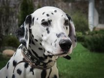 The portrait of young purebred dalmatian in the garden stock images