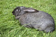 Portrait of young rabbits in a meadow. Portrait of a young gray rabbit in a meadow Stock Photos