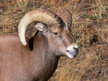 Portrait of a Young Ram. Closeup of a young Rocky Mountain Big Horn Sheep ram Stock Photography
