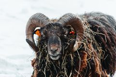 Portrait of young ram eating grass on snow winter landscape stock photos