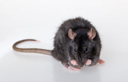 Portrait of a young rat Royalty Free Stock Photography
