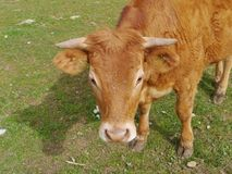 A portrait of a young red brown cow Royalty Free Stock Images