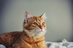 Portrait of a young red cat closeup Stock Image