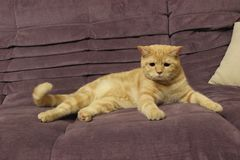 Portrait of a young red cat on the couch royalty free stock photography