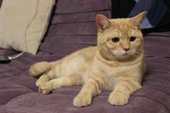 Portrait of a young red cat on the couch royalty free stock photo