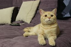 Portrait of a young red cat on the couch royalty free stock image
