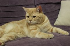 Portrait of a young red cat on the couch stock photos