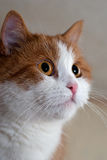 Portrait of a young red cat Stock Image