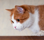Portrait of a young red cat Royalty Free Stock Photography
