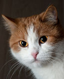 Portrait of a young red cat Royalty Free Stock Photo
