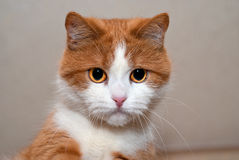 Portrait of a young red cat Royalty Free Stock Image