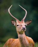 Portrait Of Young Red Deer Stock Photography